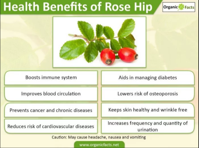 Beyond Vitamin C The Health Benefits Of Rose Hips